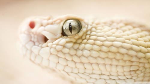 white_snake-wallpaper-1920x1080.jpg