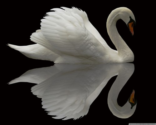 white_swan_reflection-wallpaper-1280x1024.jpg